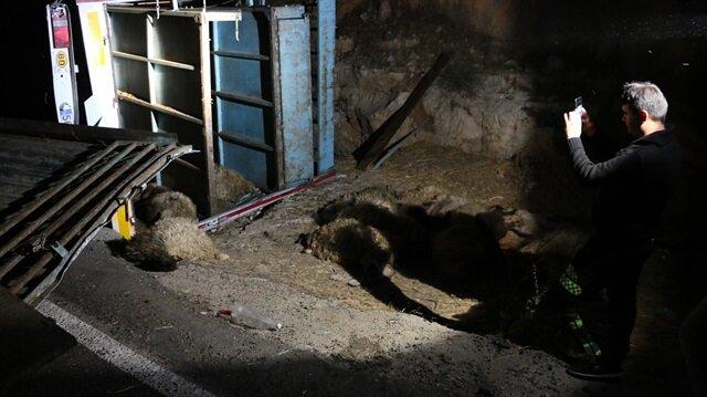 Siirt'te küçükbaş hayvan yüklü TIR devrildi