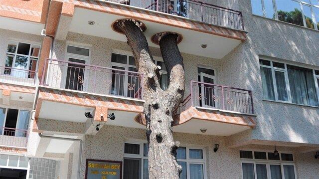 330 yıllık kızılçam ağacı binanın balkonundan geçiyor