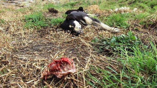 Çanakkale'de sokak hayvanlarını katlettiler