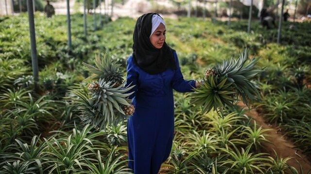 İşgal altındaki Gazze'de ananas üretildi