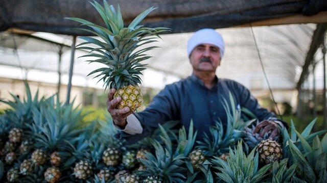Ananaslar, az suya ihtiyaç duyulan meyveler olarak biliniyor.