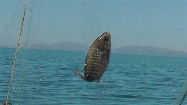 Balıkçıların korkulu rüyası oldu