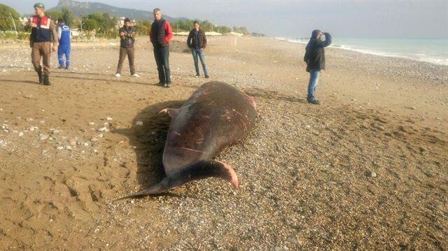 Antalya Kemer'de dün 5 metrelik ölü balina kıyıya vurmuştu.