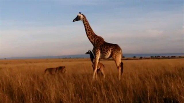 Anne zürafa yavrusunu bırakıp kaçtı!