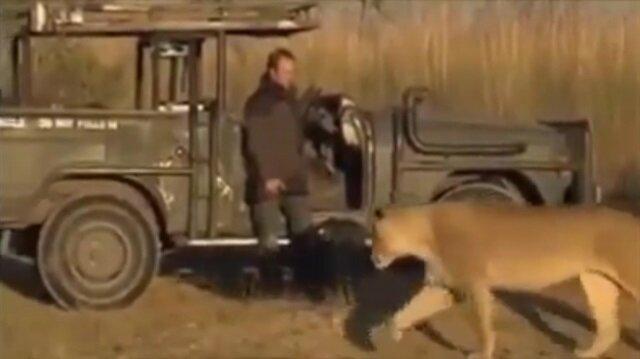 Aslanı görünce ölü taklidi yapan fotoğrafçı!