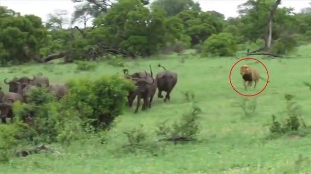 Tek başına bufalo sürüsüne saldıran aslan!