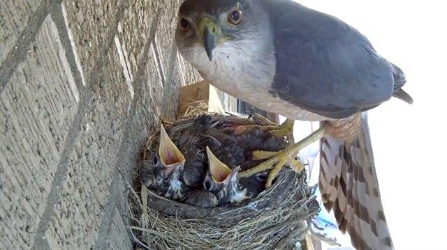 Yavru kuşları kaçıran şahin kamerada!