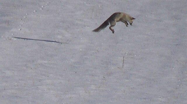 Tilkinin hayran bırakan fare avı