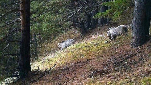 Fotokapanla kurt, vaşak, ayı, domuz, tavşan, tilki, atmaca, kartal ve baykuş gibi hayvanlar görüntülendi.