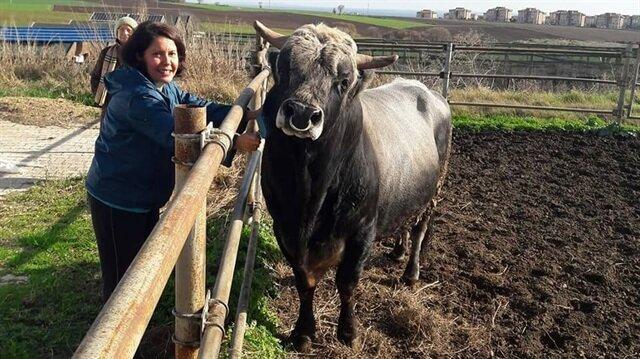 Türkiye'nin ilk klon sığırları Tekirdağ'a