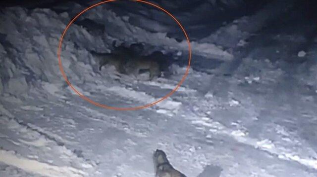 Aç kalan kurtlar kangal köpeğini parçaladı