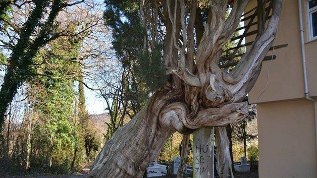 Mezarlıkların içinde yer alan ve 117 yıllık olduğu tahmin edilen ağacı her gün onlarca insan ziyarete geliyor.