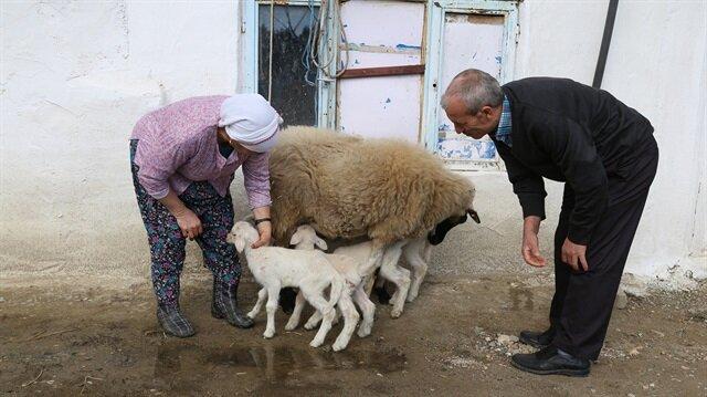 Muğla'da bir koyun beşiz yavruladı