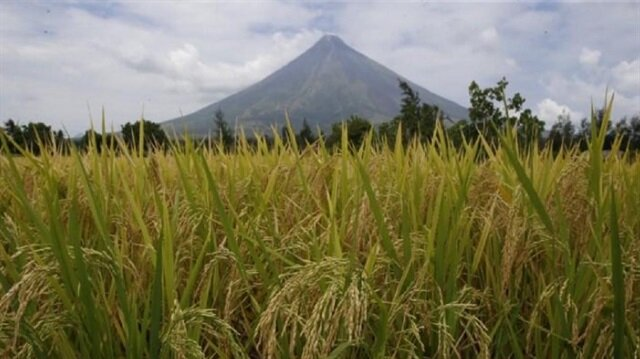 File Photo: Rice stalks ready for harvesting are pictured at a rice field overlooking Mayon volcano in Daraga, Albay in central Philippines