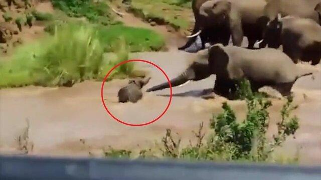 Akıntıya kapılan yavru fil el birliğiyle böyle kurtarıldı