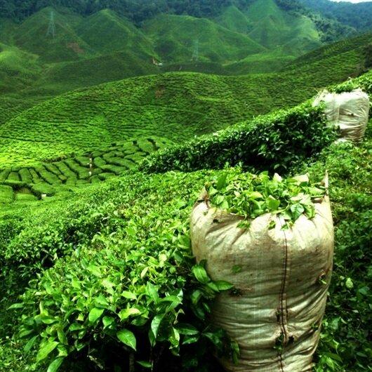 Doğu Karadeniz'den 11,7 milyon dolarlık çay ihracatı