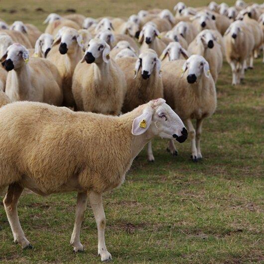Köyüne geri dönene 300 koyun+maaş