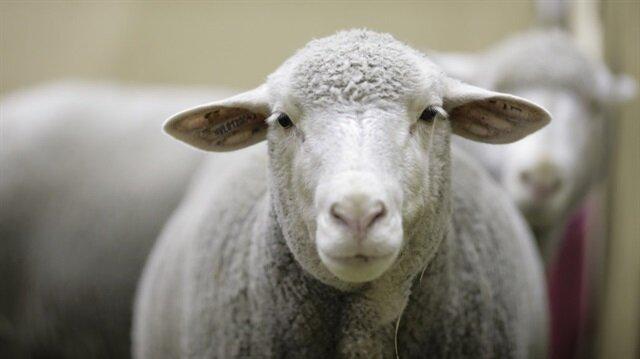 300 koyun artı asgari ücret projesinin detayları belli oldu.