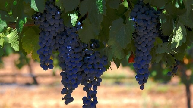 Grape, celery top contaminated fruit, vegetable in France