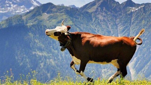 Polonya'da ilginç olay: Gündem bu inek oldu