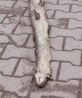 Tekirdağ'da dev yılan paniği