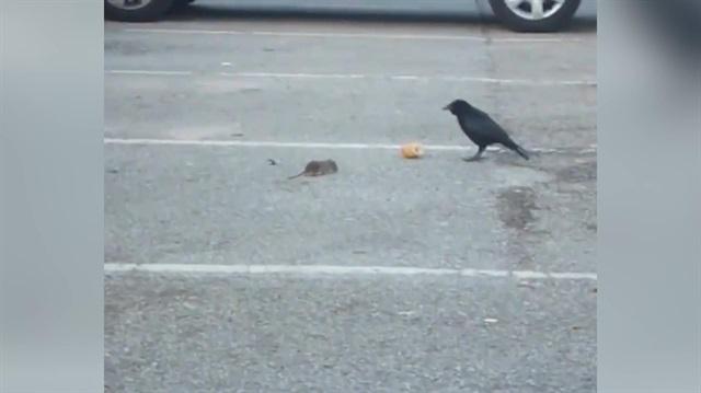 Ekmeğini fareyle paylaşan karga