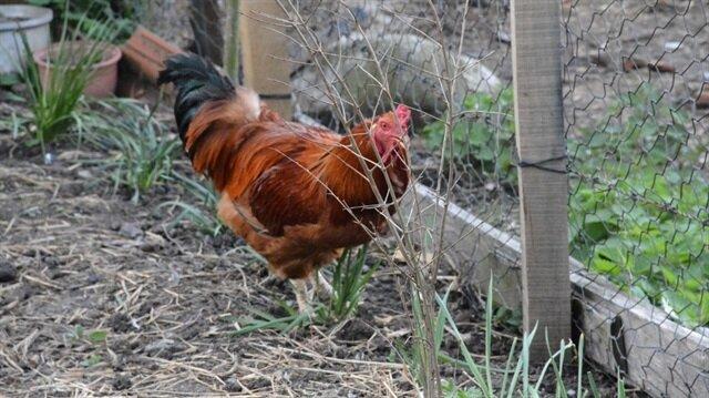 Sinop'ta yumurtlayan horoz şaşırttı.