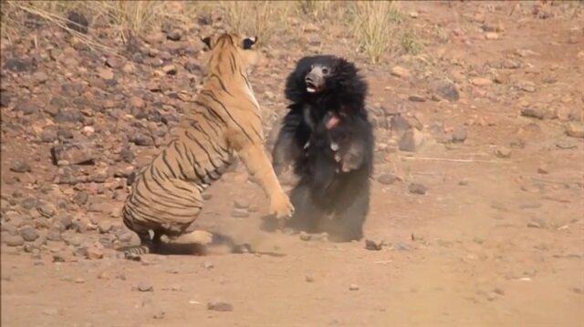Kaplana ayının kavgasını bakın kim kazandı