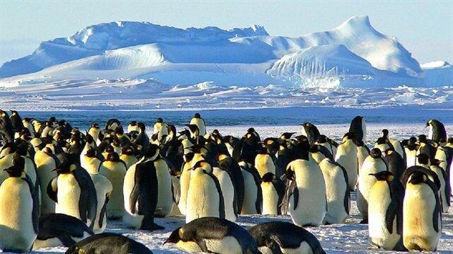 Yeni keşfin, Antartika'daki Adelie penguen sürüleri arasındaki en büyük sürü olduğu kaydedildi.
