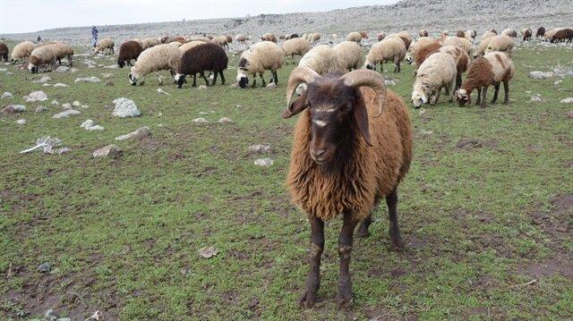 300 koyun Nisan'da dağıtılacak