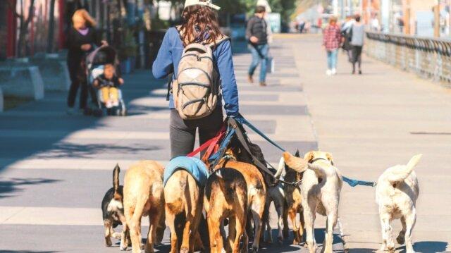 Sermayesiz, kasmadan ve kazançlı iş; köpek gezdiricilik.