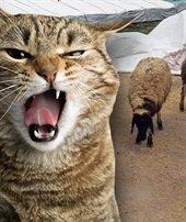 1 kedi 14 koyunu telef etti