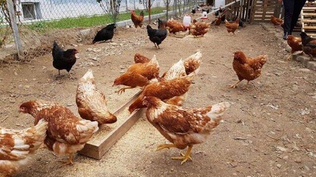 Tavukların yetiştiriciliği: lezzetli, karlı, yararlı