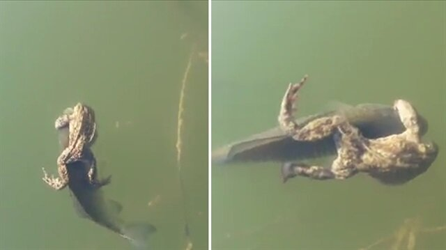 Üşengeç kurbağa, balığa taksi muamelesi yapıyor
