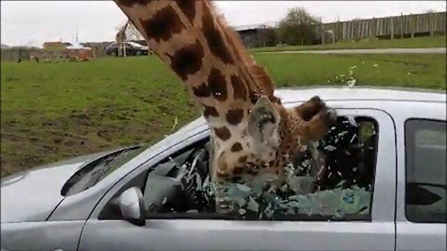 Zürafanın başını cama sıkıştıran kadın