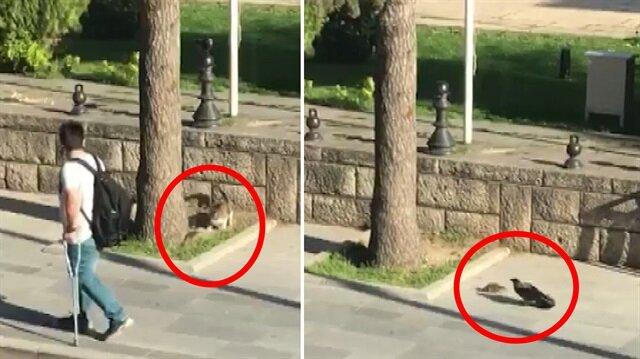 Kahraman farenin, kedi ve kargayla mücadelesi kamerada