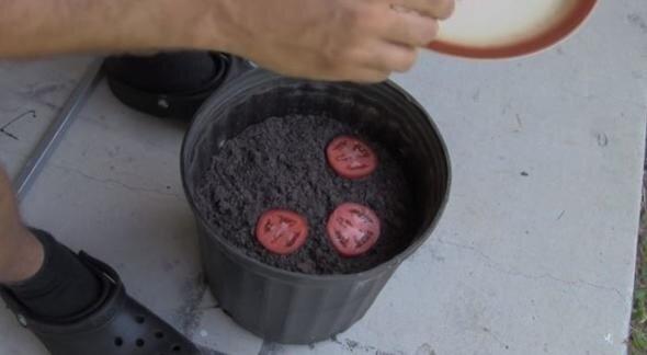 Çürüyen domatesleri saksıya gömdü birkaç hafta sonra gördüklerine inanamadı