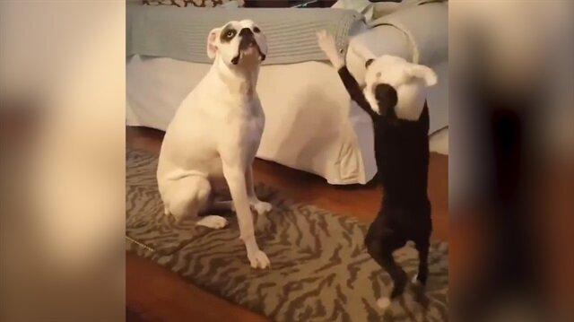 Yavru köpeğin sevimli halleri sosyal medyayı salladı