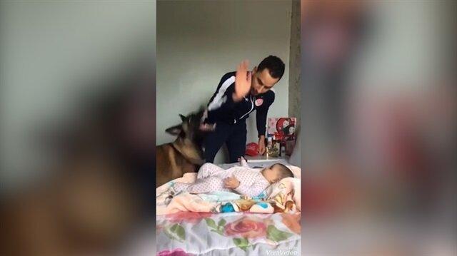 Alman çoban köpeğinin koruma içgüdüsüne hayran kalacaksınız