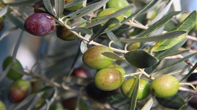 Zeytin üretiminde yüzde 14 artış yaşandı.