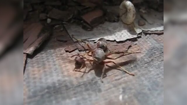 Eşek arısı, kopan kafasını alıp uçmaya devam ediyor