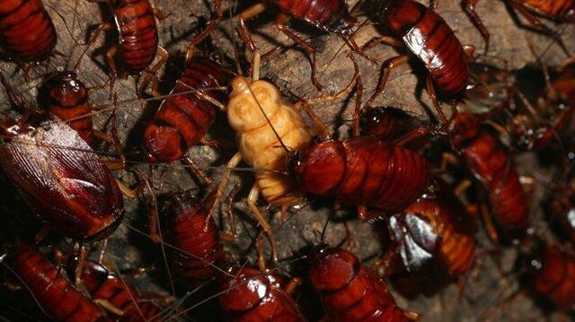 6 milyar hamam böceği üretiyor