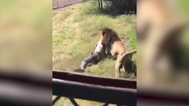 Dehşet görüntüler: Vahşi aslan adamı parçaladı!