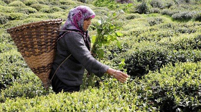 Çaykur'dan üreticilere 'fiyat' uyarısı