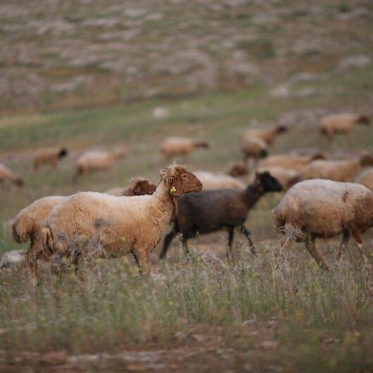 Afyonkarahisar'da 67 koyun telef oldu