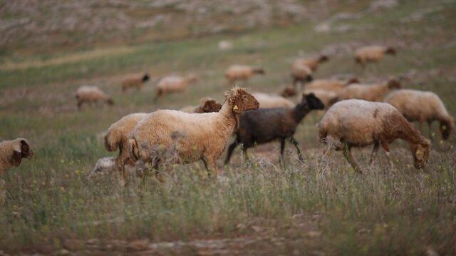 Aşırı yağış sonucu çok sayıda koyun telef oldu.