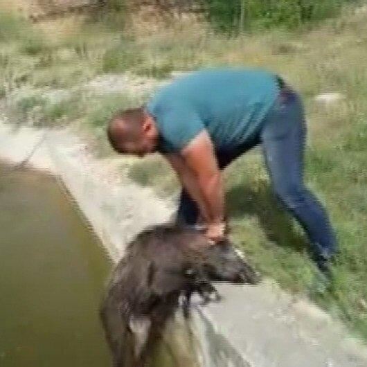 Sulama kanalına düşen 7 domuzu elleri ile kurtardı