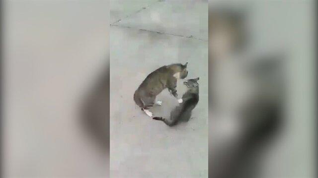 Kavga eden kedileri havlayarak ayıran adam