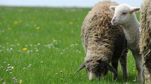 Roma'da çimleri koyunlar 'biçecek'