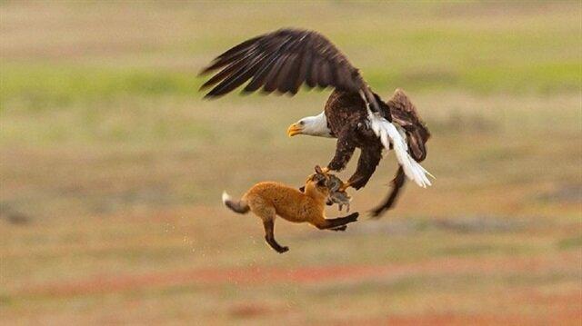 مشهد مذهل.. نسر يخطف أرنبا من قبضة ثعلب